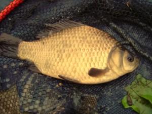 Ловля карася та іншої риби на пінопласт