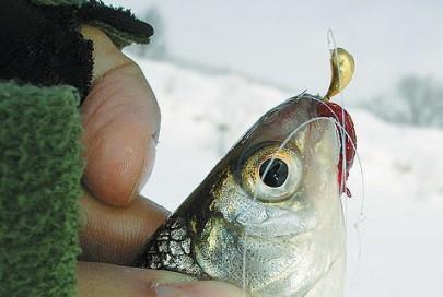 Пошук і ловля білої риби з льоду навесні